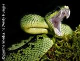 Photo: A green snake with opened mouth
