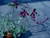 Photo: Pelargonium Sidoides