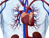Graphic: Blood vessels in the human chest