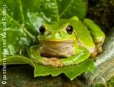Photo: European green tree frog