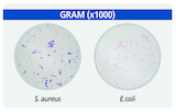 Staining result GRAM c