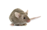 SYnAbs mouse monoclonal antibodies