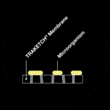Cross-sectional view – Microbiological fluorescence detection on TRAKETCH® membrane