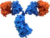 antibody structure surface final