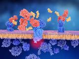 SYnAbs anti GPCR effector monoclonal antibodies